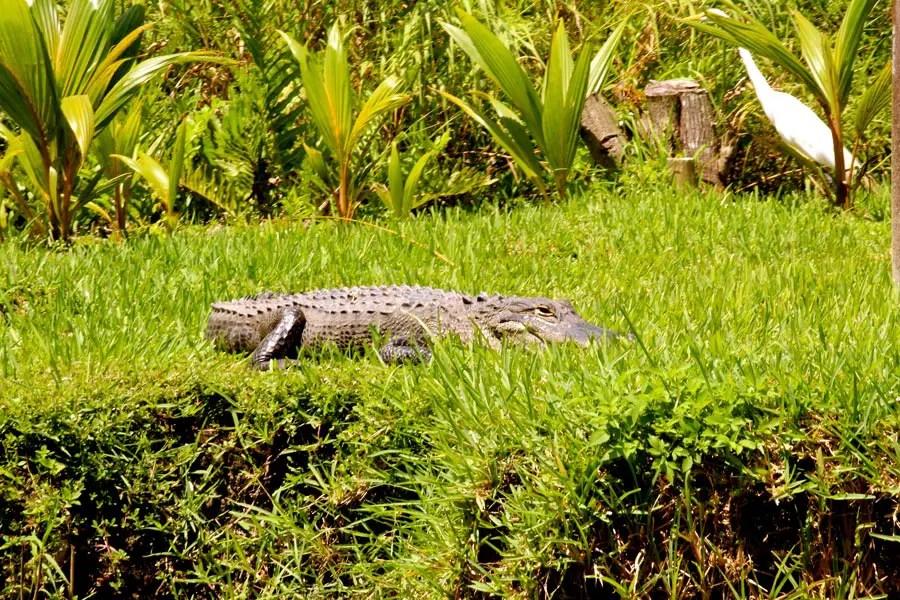 wetraveltheworld_Everglades_krokodil_florida
