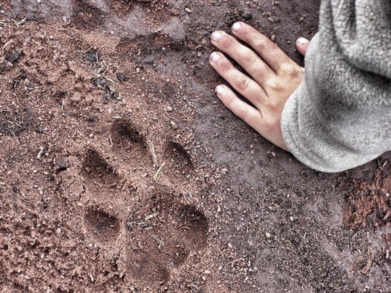real lion paw print