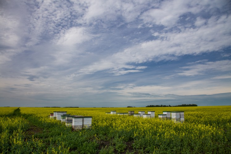 Travel Winnipeg and Manitoba - bee hives in a canola field.