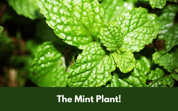 The Mint Plant!