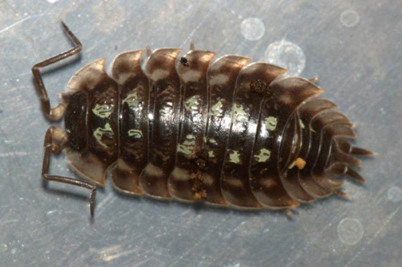 Ask The Inspector Are Sow Bugs Grossing You Out? Read On