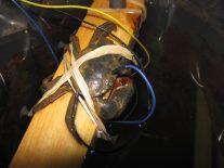Mud crab hearing test