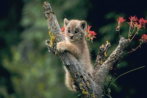 Canada Lynx kitten photos.com
