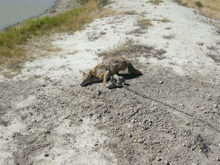 Coyote Trap Image 5 pc Jamie Olson_Wildlife Services