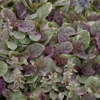 Carpet Bugleweed Perennial | Taraba Home Review