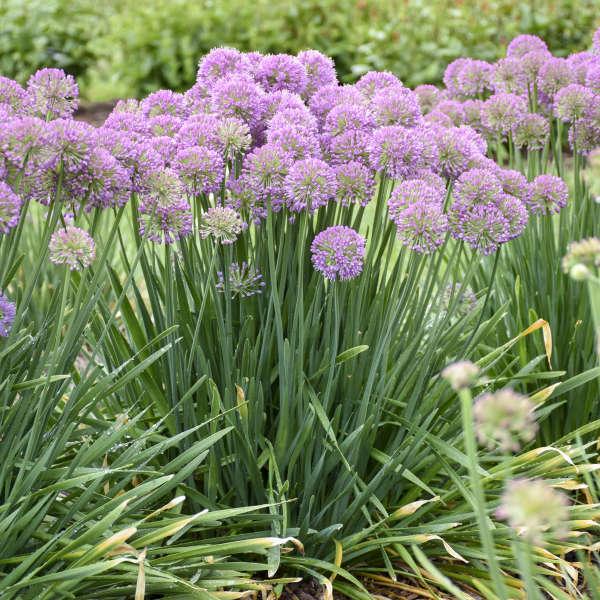 14 Purple Perennials Walters Gardens Inc