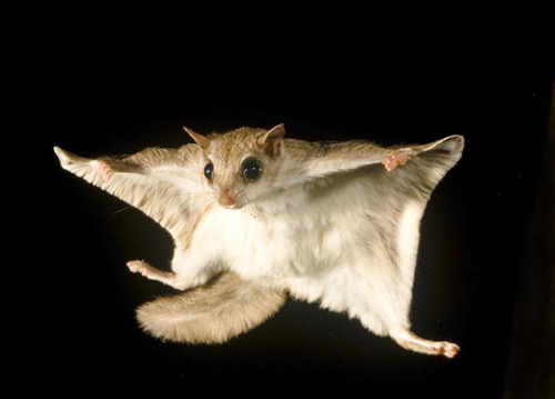 Mason Vera Paine, Flying Squirrel, Exotic Pet