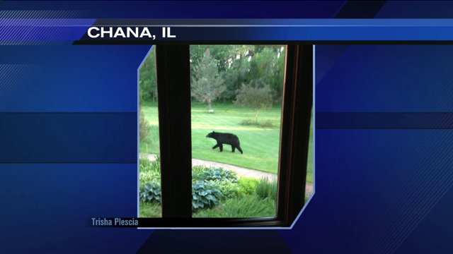 Black bear spotted again, this time in Chana, IL