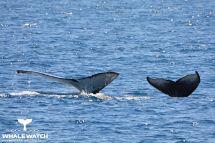 Humpback Whale Tales