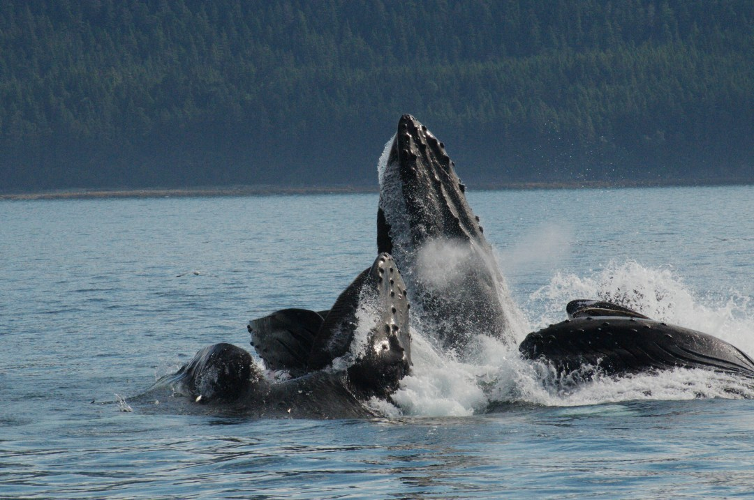 humpbacks-feeding