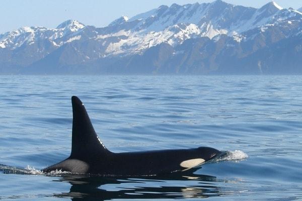 Major Marine Tours_Orca-whale-Copy-min