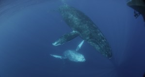 Mystery Sounds Recorded Near Humpback Whales off Maui, Hawaii