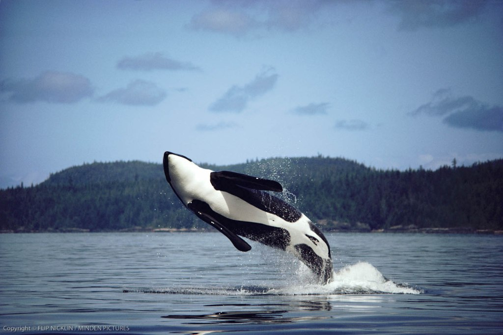 Orca or Killer Whale (Orcinus orca), adult male named B-3 breaching, Johnstone Strait, British Columbia, Canada