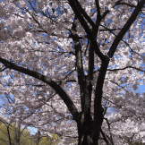 cherry-blossoms-in-high-park
