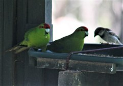 red-crested-parakeet-sharing-wih-sparrow