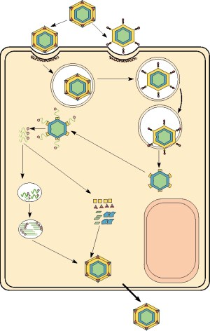 Chapter 5: Viruses That Contain DoubleStranded RNA: Family Reoviridae  Introduction  Overview
