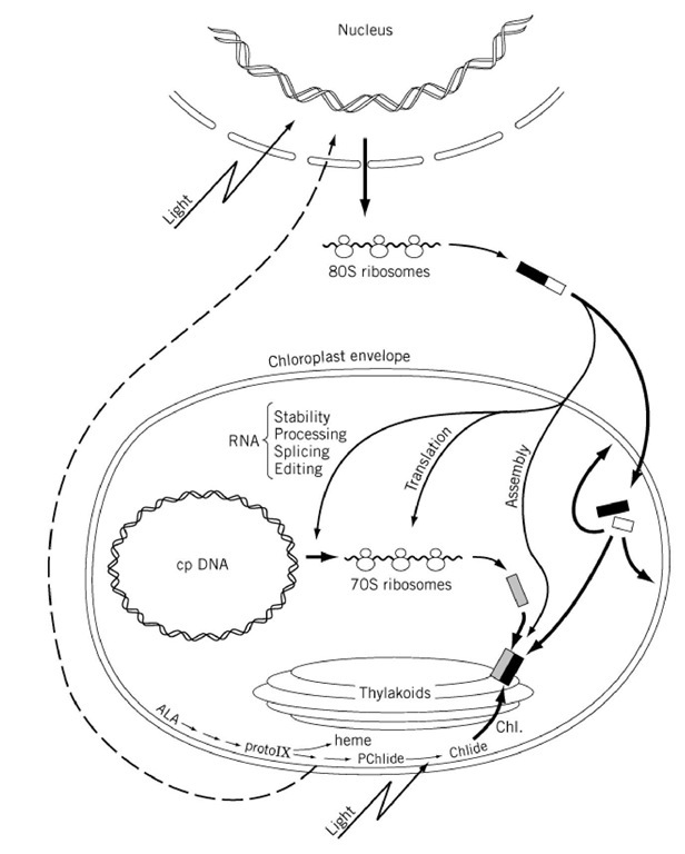 Chloroplast (Molecular Biology)