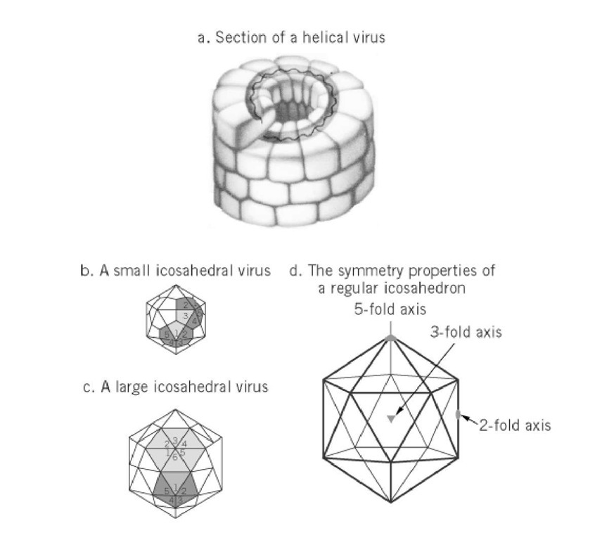 Virus Infection, Animal Part 1 (Molecular Biology)