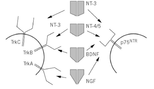 Nerve Growth Factor and Related Neurotrophins (Molecular
