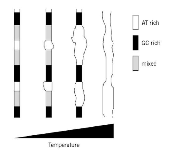 Denaturation, Nucleic Acids (Molecular Biology)
