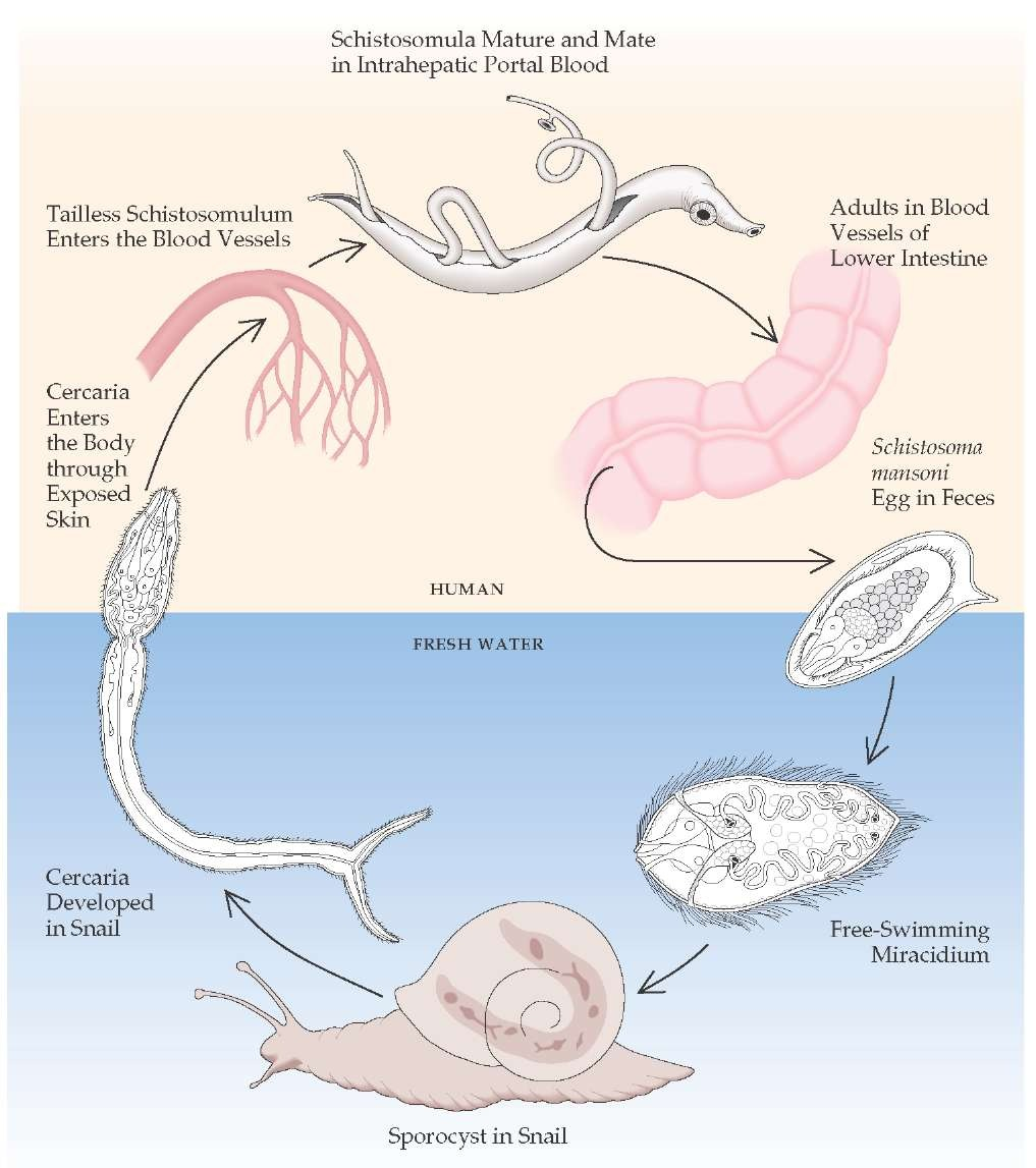 hight resolution of freshwater snails and the human body provide the living environment of the schistosomes schistosoma mansoni