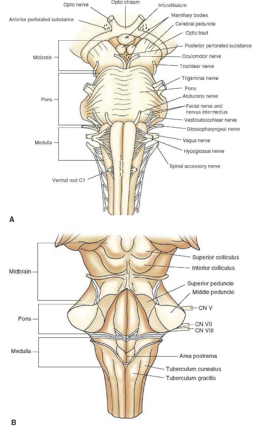 medium resolution of brainstem i the medulla organization of the central nervous system part 1