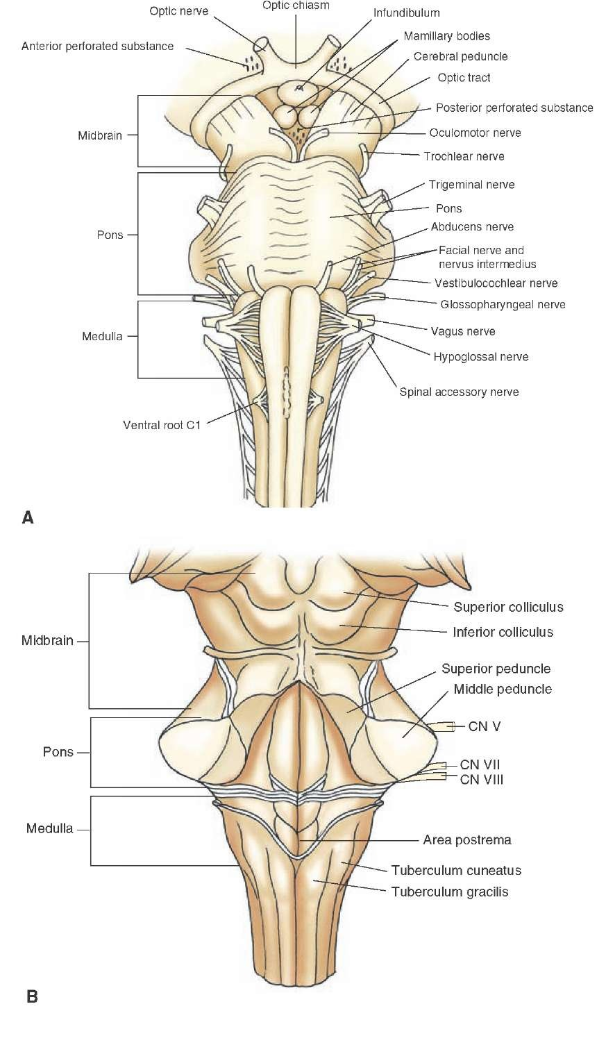 hight resolution of brainstem i the medulla organization of the central nervous system part 1