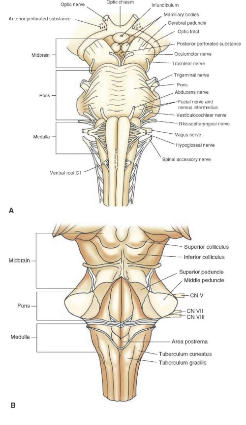 small resolution of brainstem i the medulla organization of the central nervous system part 1