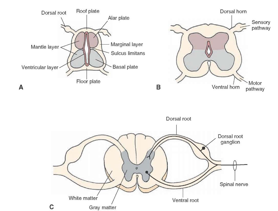 hight resolution of development of the spinal cord a early stage of development b