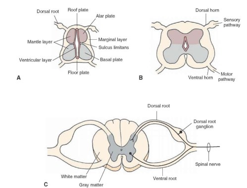 small resolution of development of the spinal cord a early stage of development b
