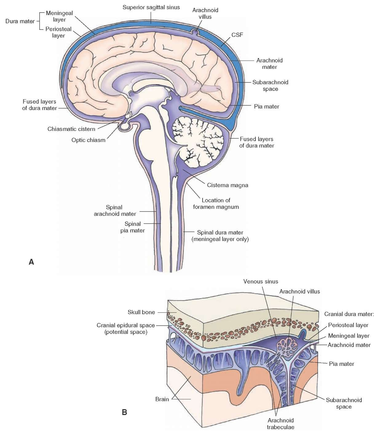 hight resolution of the coverings of the brain and spinal cord a the brain and spinal