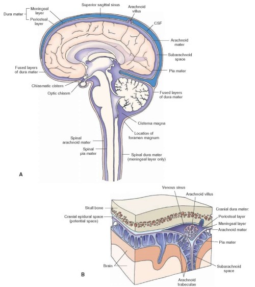 small resolution of the coverings of the brain and spinal cord a the brain and spinal