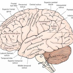 Brain Diagram Inferior Duraspark 2 Wiring Overview Of The Central Nervous System Gross Anatomy