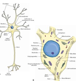 a schematic representation of a neuron a note the orientation of the dendrites [ 1248 x 1117 Pixel ]