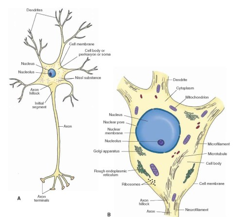 small resolution of a schematic representation of a neuron a note the orientation of the dendrites