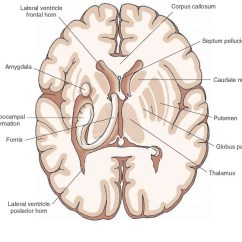 Brain Diagram Thalamus Wiring Plc Overview Of The Central Nervous System Gross Anatomy