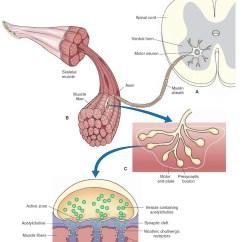 Synapse Diagram Label Warehouse Wiring Neuron Synaptic Vesicles Neurotransmitter