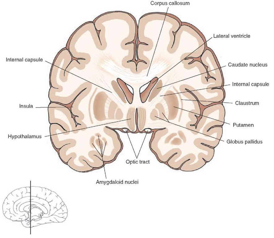 internal brain diagram 1955 mg wiring overview of the central nervous system gross anatomy frontal section taken through level rostral diencephalon where thala mus