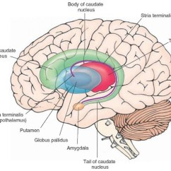 Internal Brain Diagram Renault Trafic Wiring Download Overview Of The Central Nervous System Gross Anatomy Schematic Illustrating Components Caudate Nucleus And Their Relationship To Thalamus