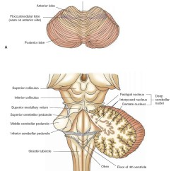 Brain Diagram Pons Website Tree Overview Of The Central Nervous System Gross Anatomy