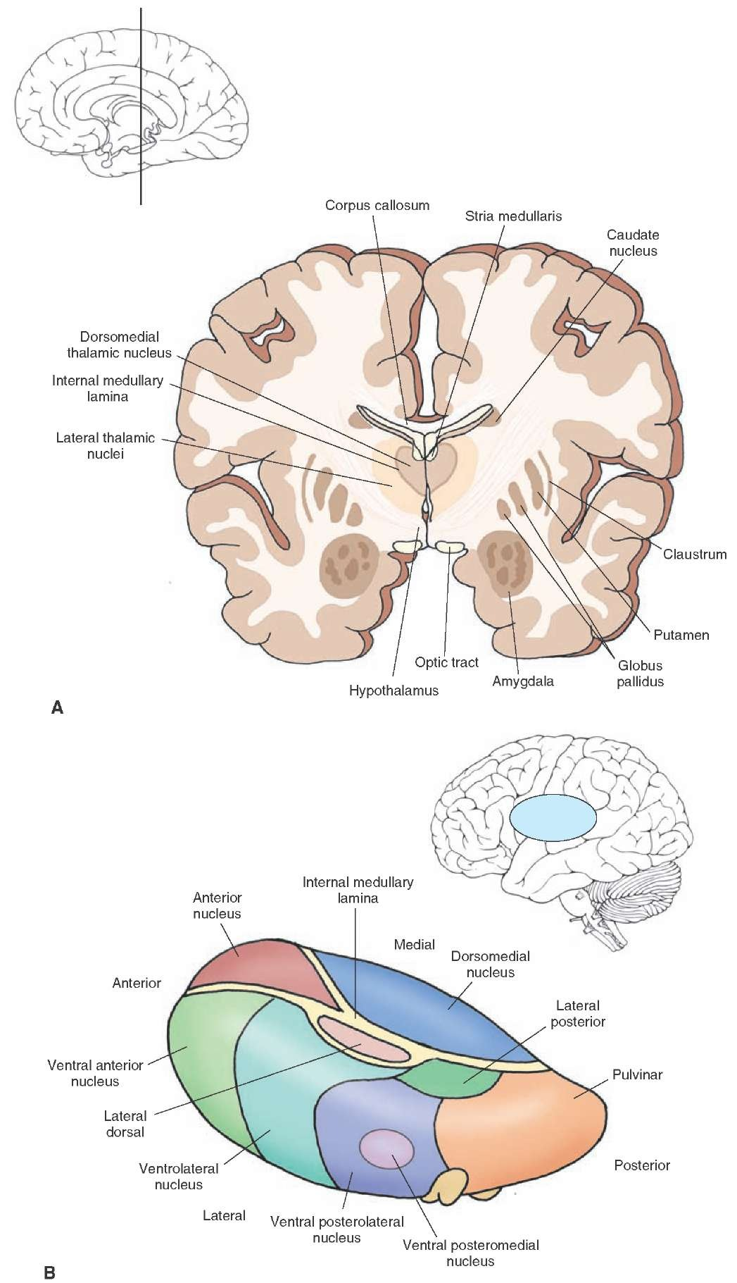 brain diagram thalamus wiring yamaha outboard ignition switch anterior thalamic nuclei nuclear group