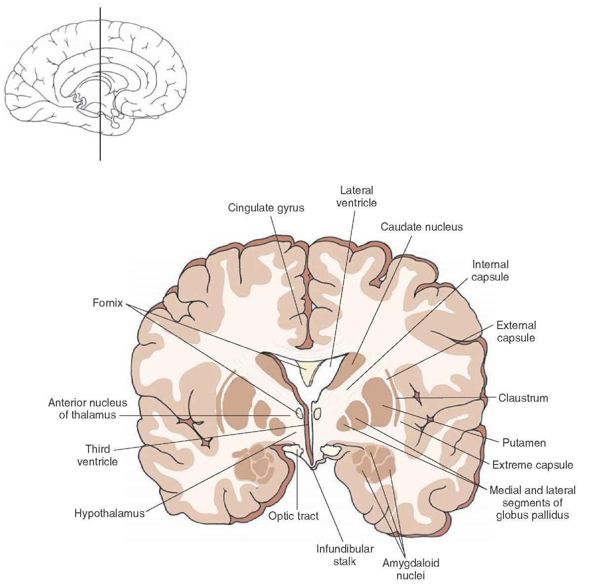 brain diagram thalamus control transformer wiring the forebrain organization of central nervous system