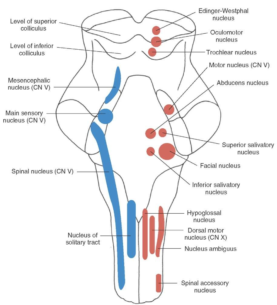hight resolution of longitudinal view of the brainstem depicting the position and arrangement of the sensory motor