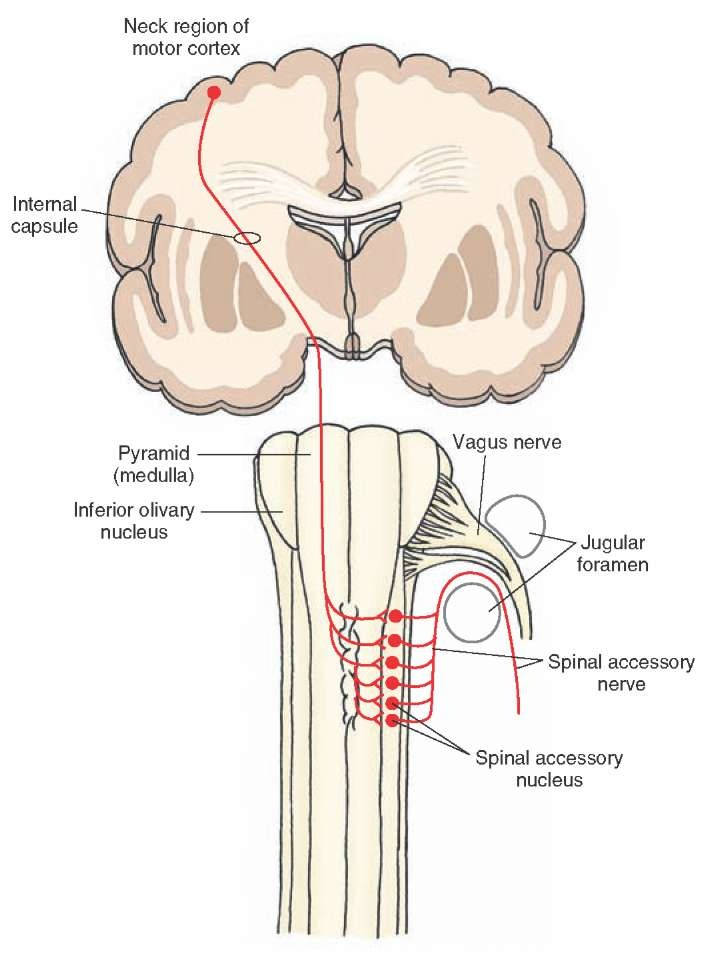 vagus nerve diagram 97 honda civic ex stereo wiring the cranial nerves organization of central nervous system part 2 illustrates origin and distribution spinal accessory xi