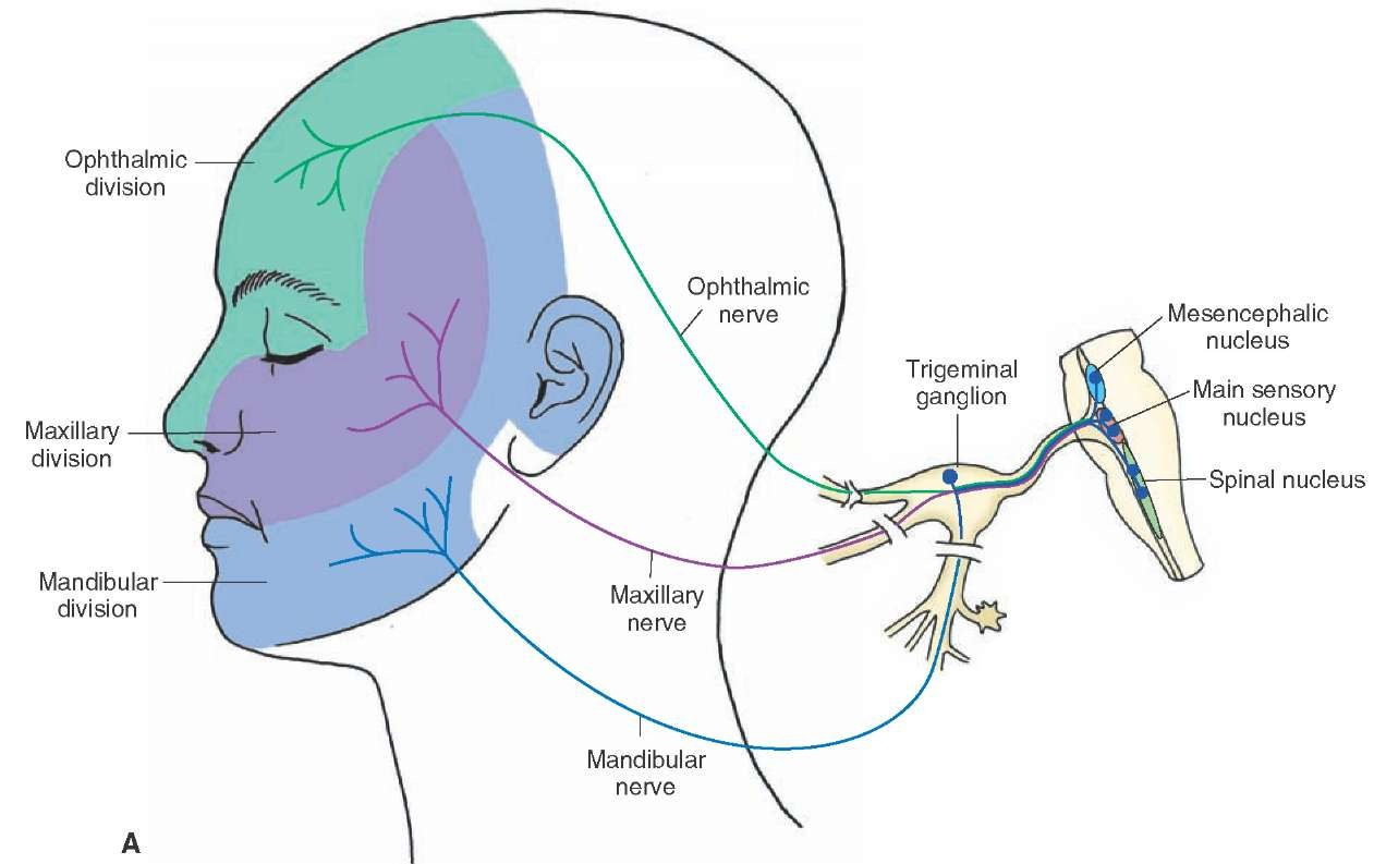 hight resolution of  a distribution of the sensory general somatic afferent and motor special