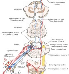 b organization and distribution of the central trigeminal pathways from the periphery to the [ 907 x 1623 Pixel ]