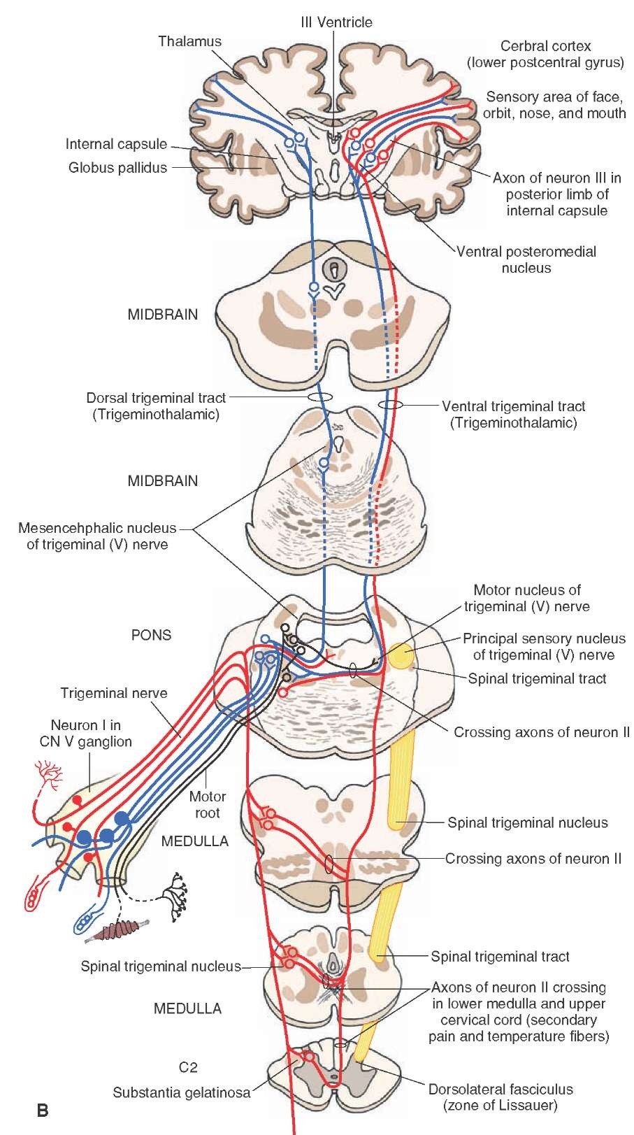 hight resolution of  b organization and distribution of the central trigeminal pathways from the periphery to the