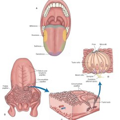 Diagram Of The Human Tongue And Taste Buds Vfd Wiring Abb Olfaction Sensory System Part 1