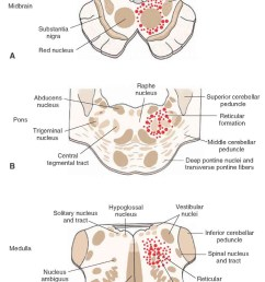 position of the reticular formation in the brainstem diagrams illustrate the approximate positions of the [ 844 x 1221 Pixel ]