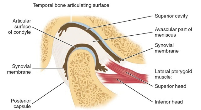 Anatomy Fun Fact Corner Tmj Edition Conservative Orthopedics